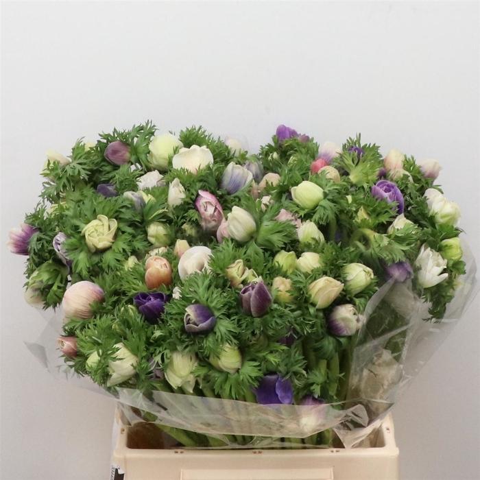 <h4>Anemone cor. 'Galil Pastel'</h4>
