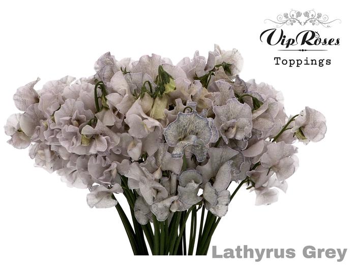 LATHYR GREY