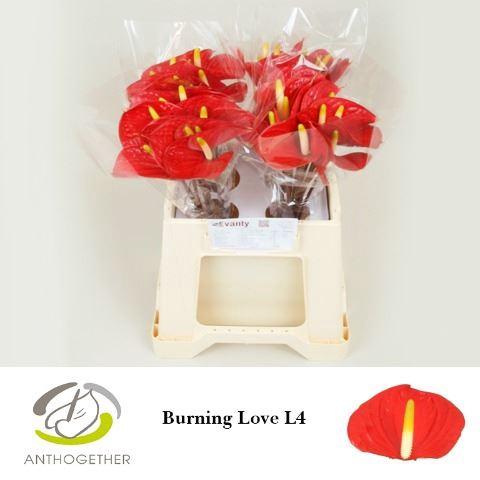 <h4>Anthurium andr. 'Love Burning'</h4>
