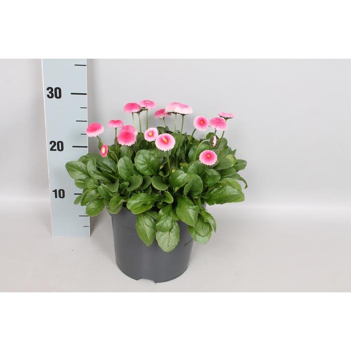 <h4>Bellis perennis 19 cm Pink</h4>