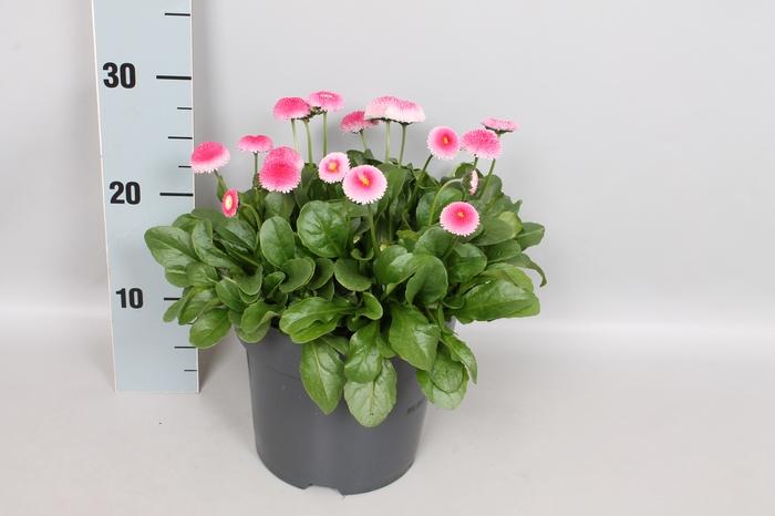Bellis perennis 19 cm Pink