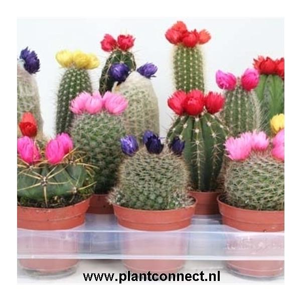 <h4>Cactus versierd Sier ( droogbloem</h4>
