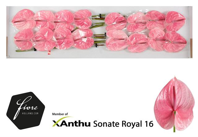 <h4>ANTH A SONATE ROYAL</h4>