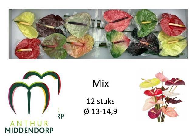 <h4>Anthurium Mixed</h4>