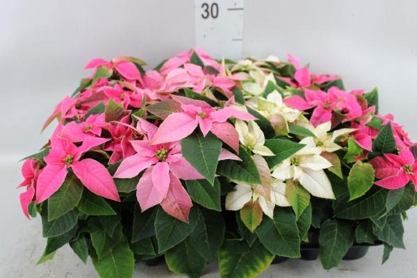 <h4>Euphorbia pulc. 'Princet.'  ..mix</h4>