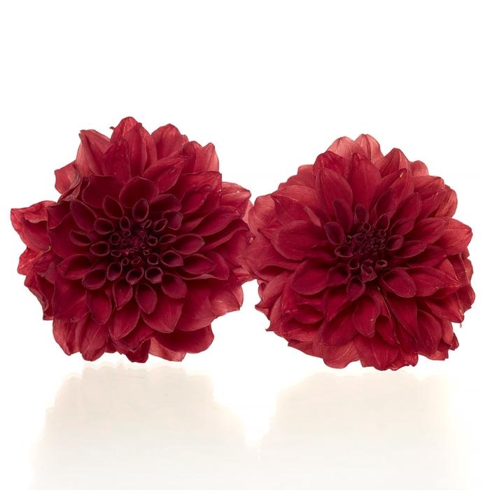 <h4>Dahlia red 5,5-6cm</h4>