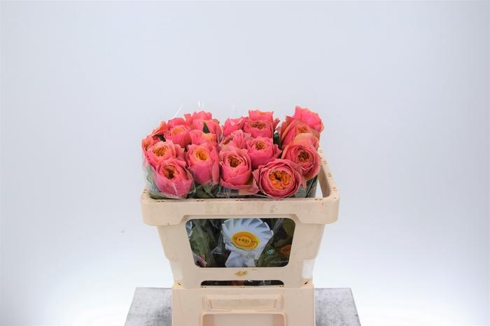 <h4>Rosa grootbloemig Kensington Gardens!</h4>
