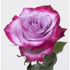 Rosa gr Deep purple (Nevado)