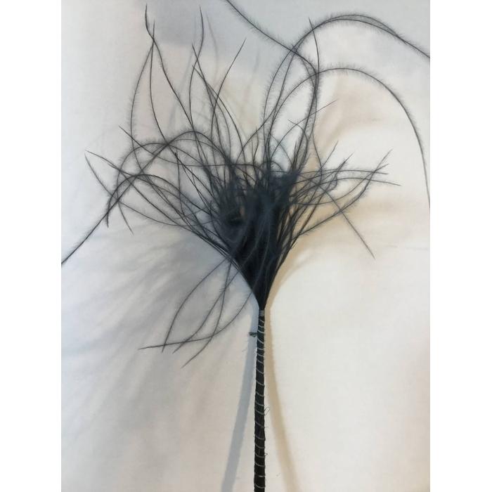 <h4>DRIED FLOWERS - STYPHA PENATA BLACK</h4>
