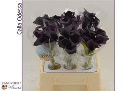 <h4>Calla Odessa (black)</h4>