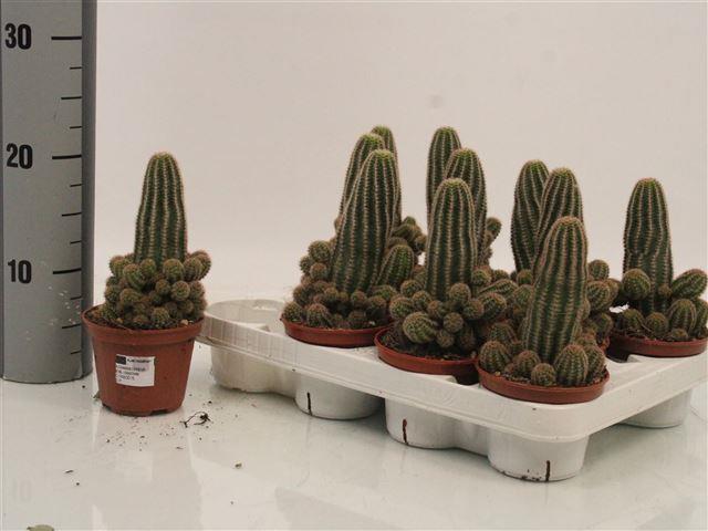Cactus mix 11Ø 22cm
