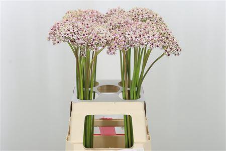 <h4>Allium Silverspring</h4>