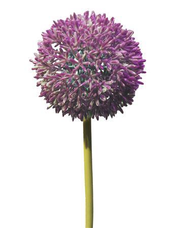 <h4>Allium globemaster Pallmal 68cm fuchsia</h4>