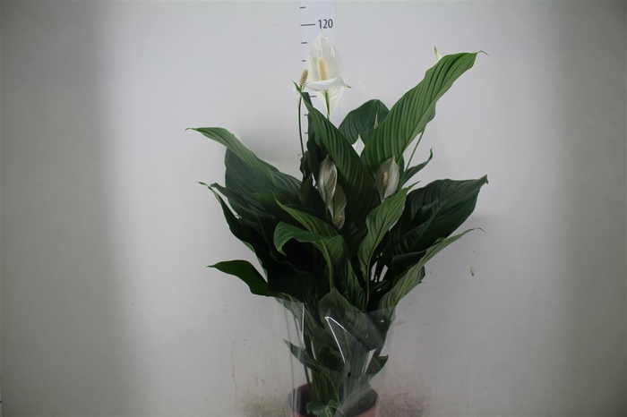 <h4>Spathiphyllum Sweet Lauretta</h4>