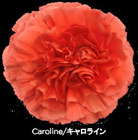<h4>Di St Or. Caroline</h4>