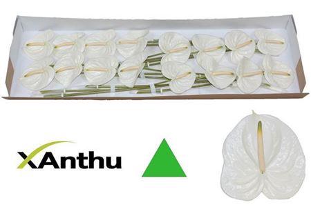 <h4>ANTH A ASPIRE X16</h4>