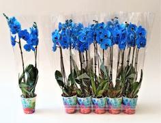 <h4>PHALAENOPSIS BLUE</h4>