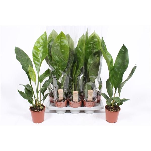<h4>Anthurium Jungle King</h4>