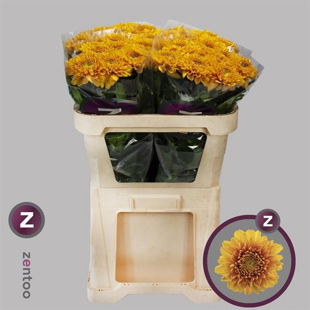 <h4>Chrysanthemum PL 'Willem Orange'</h4>