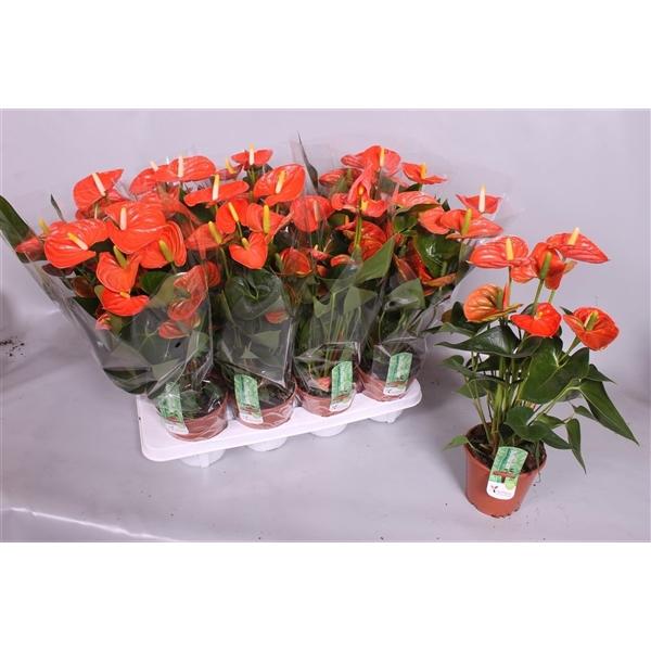 <h4>Anthurium Sierra Orange 5+</h4>