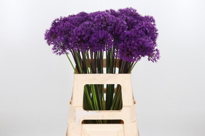 <h4>Allium Purper Sensation</h4>