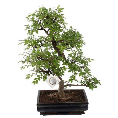 <h4>Bonsai A1352001ze Zelkova Parvifolia Keramiek</h4>