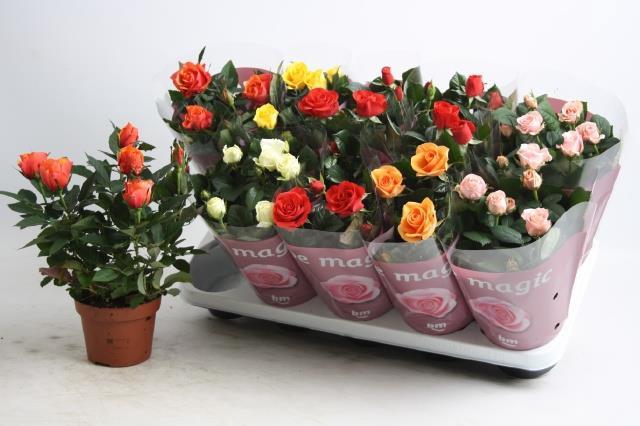 <h4>Rosa Beau Monde mix 6srt</h4>