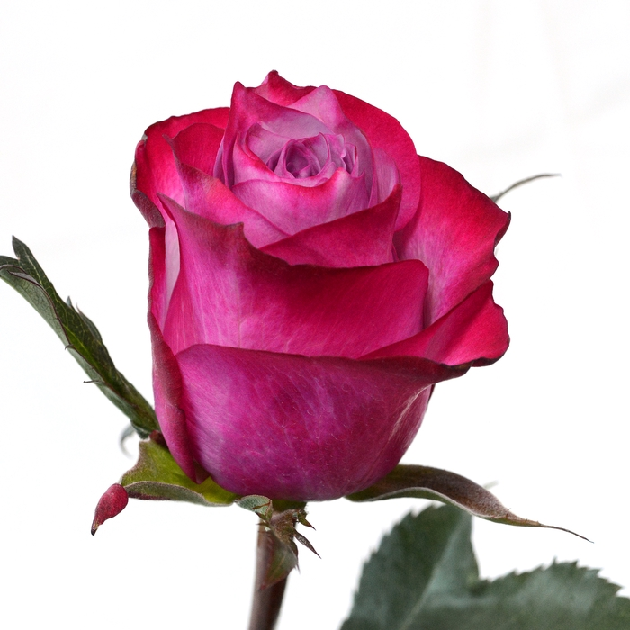 <h4>Rose Deep Purple</h4>