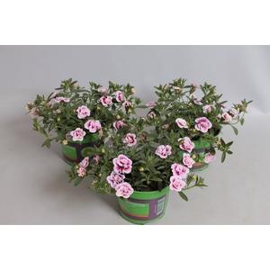 Calibrachoa MiniFamous Double Pink tastic