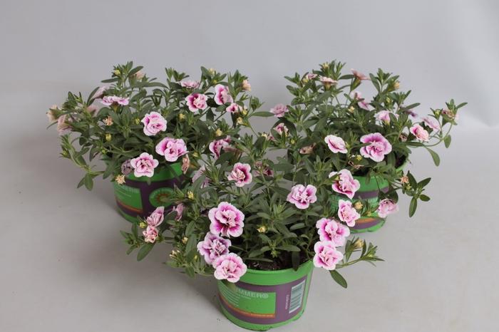 <h4>Calibrachoa MiniFamous Double Pink tastic</h4>