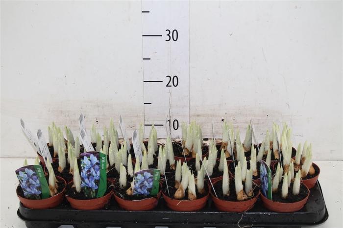 <h4>Iris Licht Blauw</h4>