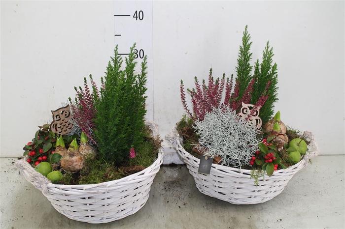 <h4>Arr Tuinplanten In Mand</h4>