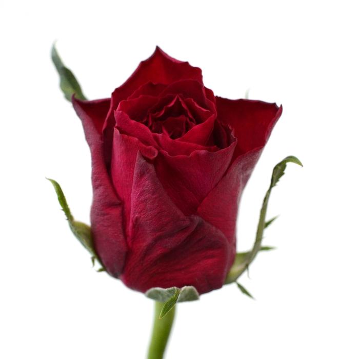 <h4>Rose Madam Red</h4>