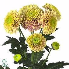 Chrysanthemum spray san Jeanny Salmon
