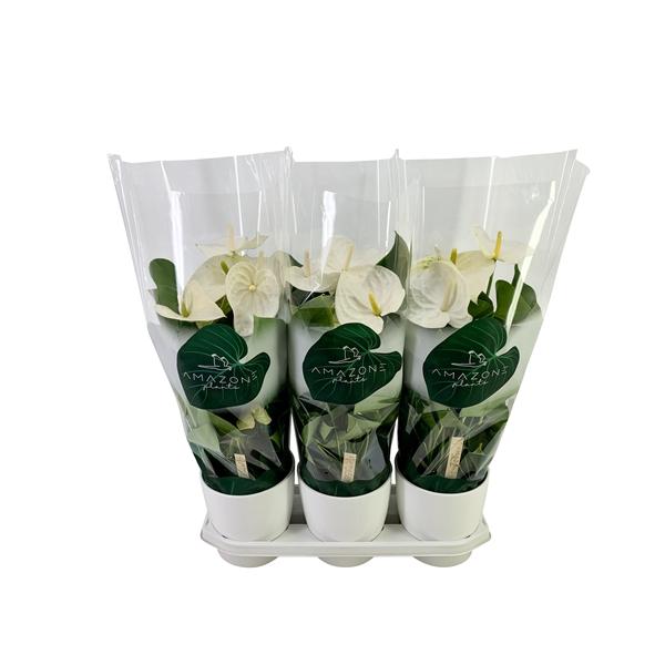 <h4>Anthurium wit keramiek 17cm</h4>