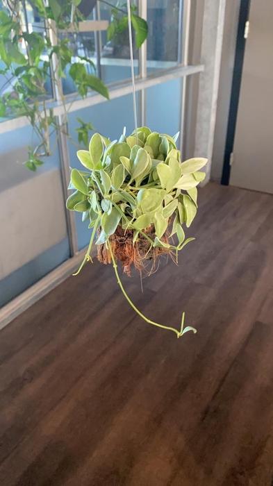 <h4>Dischidia arr. 8Ø 10cm Melon 2</h4>