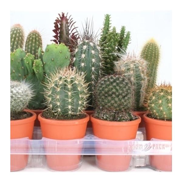 <h4>art.93 cactus in rozenpot 8,5 cm</h4>