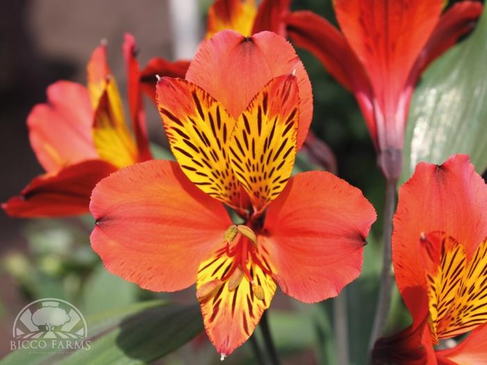 <h4>Alstroemeria naranja select (BENCHMARCK)</h4>