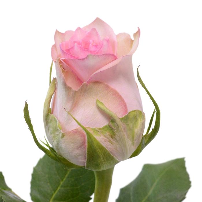 <h4>Rose Sudoku</h4>