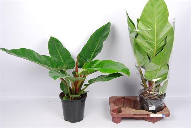 <h4>Philodendron 21Ø 70cm</h4>