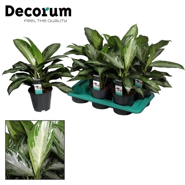 <h4>Aglaonema Silver Bay 3 stekken p.p. (Decorum)</h4>