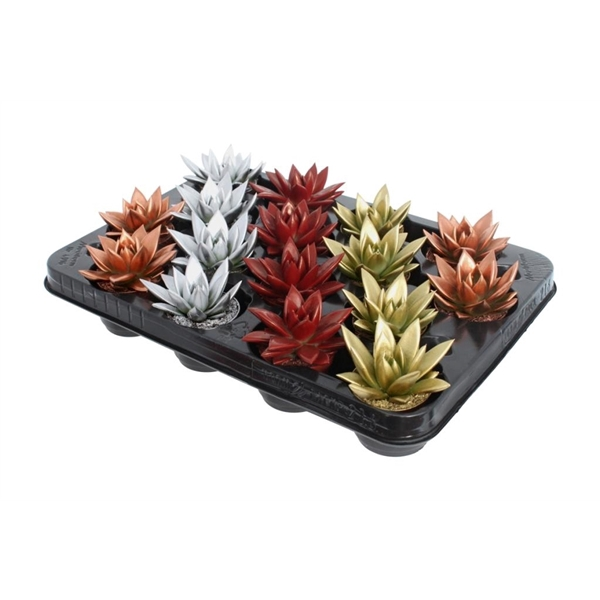 <h4>Echeveria coloured Xmas mix</h4>