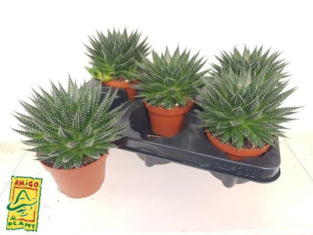 Aloe 10,5Ø 15cm