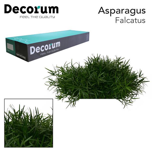 <h4>ASP falcatus 65cm box dc</h4>