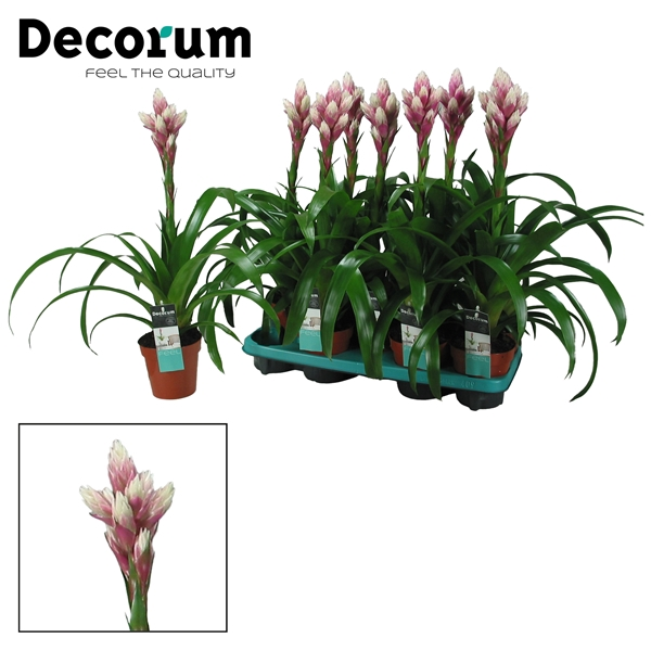 <h4>Guzmania Candy Vertakt Roze-Wit (Decorum)</h4>