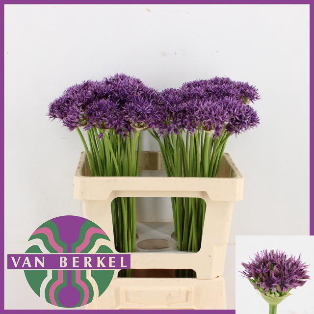 <h4>ALLIUM VIOLET BEAUTY</h4>