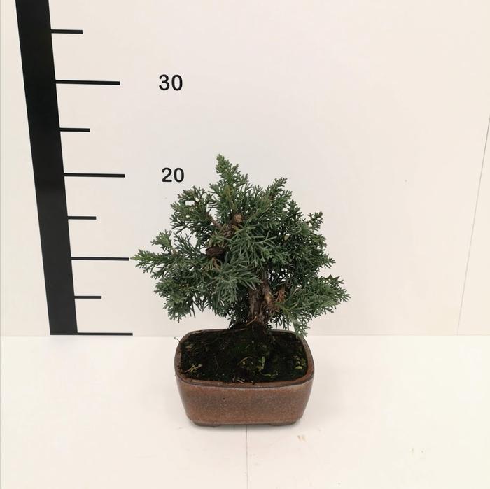 <h4>Bonsai juniperus chinensis 8 años</h4>