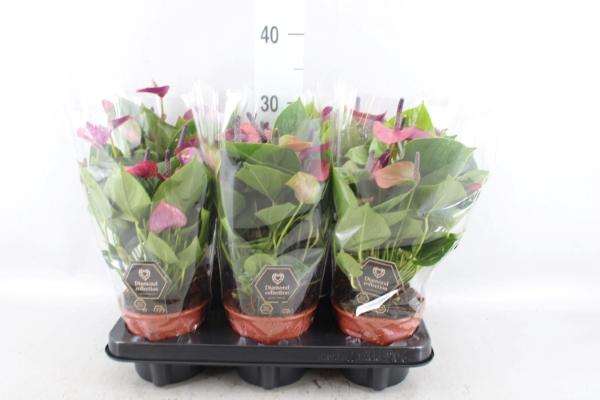 <h4>Anthurium  'Baby Purple'</h4>