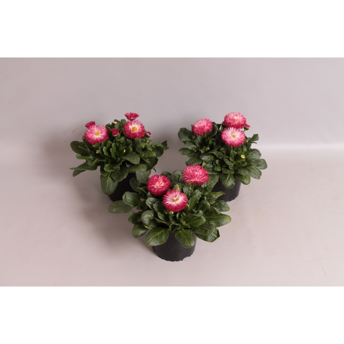 <h4>Bellis  Habanera Red</h4>