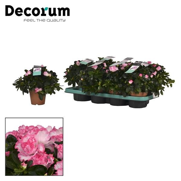 <h4>Azalea 12 cm Hulsten Decorum</h4>